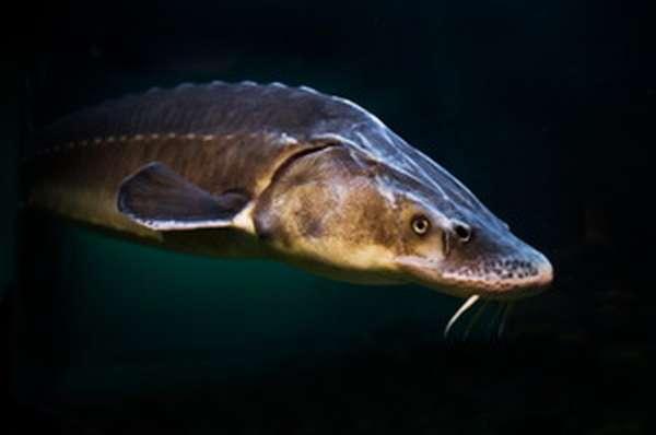 Виды речных рыб