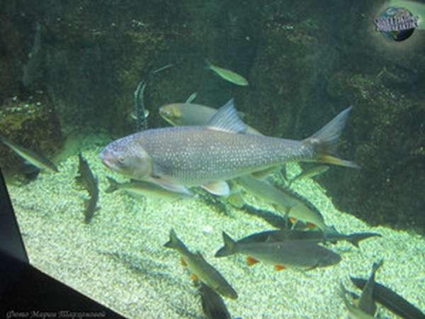 Пищевая ценность рыбы