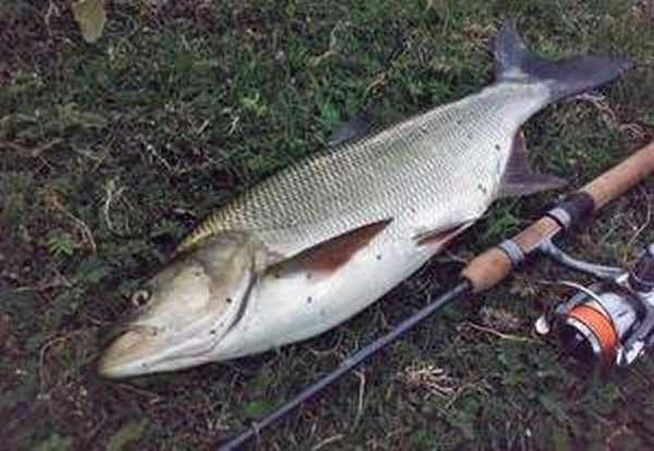 Описание рыбы жерех