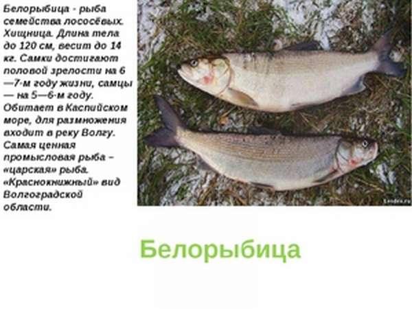 Как выглядит рыба белорыбица