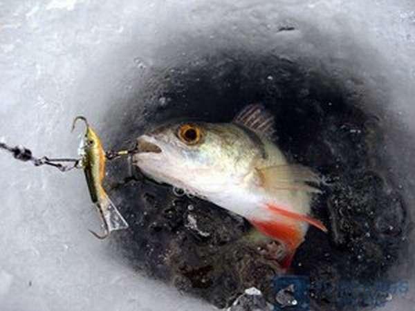 Снасти для ловли окуня со льда