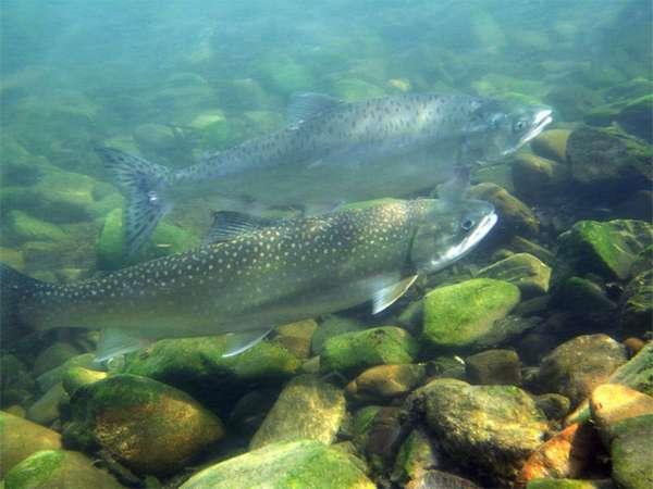 Где водится лосось в россии