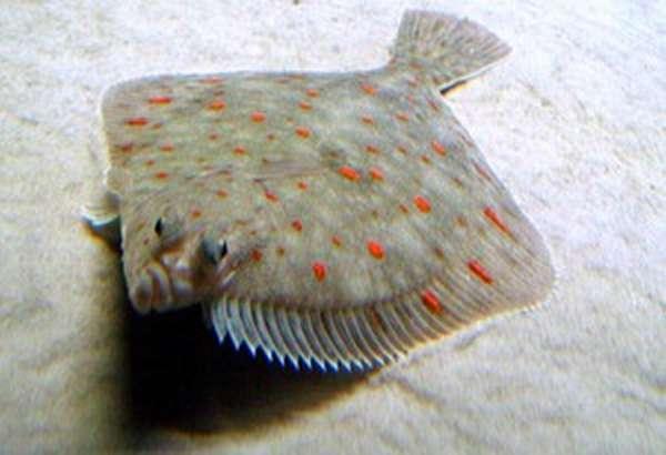 Рыба камбала: морская или речная рыба