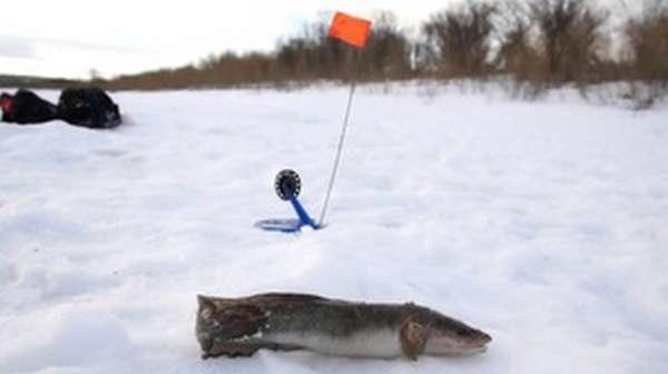 Описание способа ловли налима зимой на жерлицы