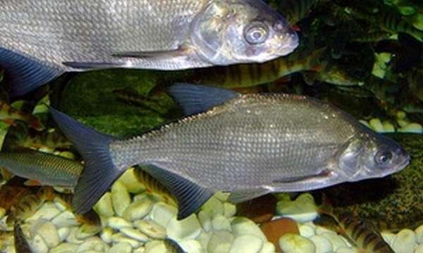 Рацион рыбы лещ