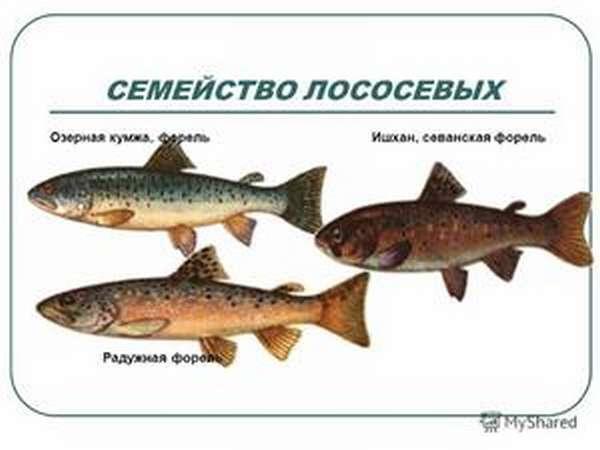 Какие рыбы относятся к семейству лососевых