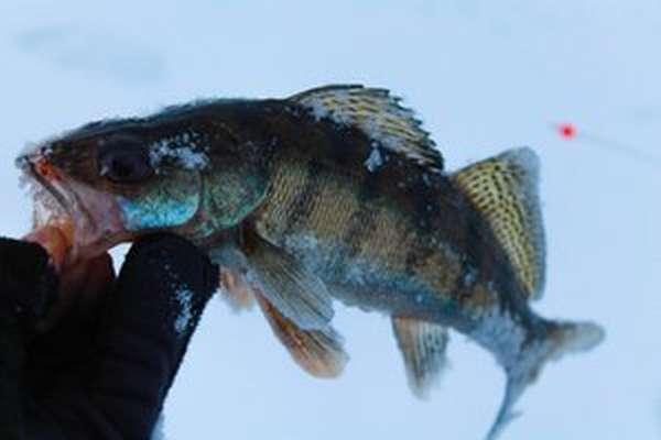 Что за рыба- берш