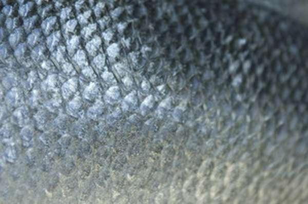 Определение возраста рыбы по чешуе