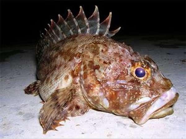 Черноморская рыба