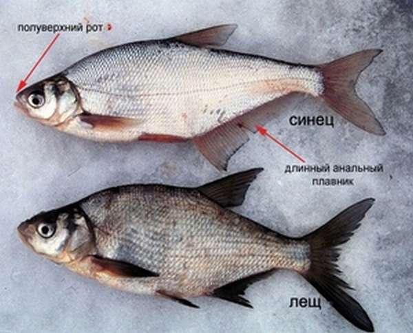 Как различить рыбу синец
