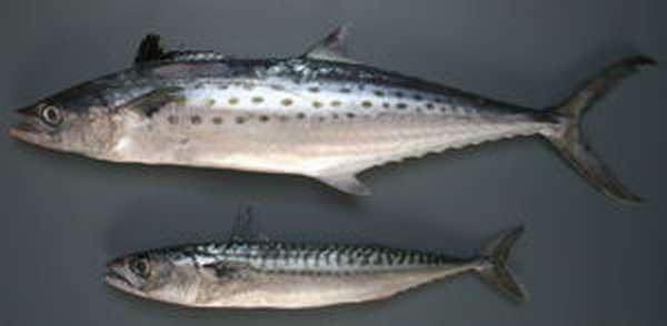 Отличие рыбы от скумбрии