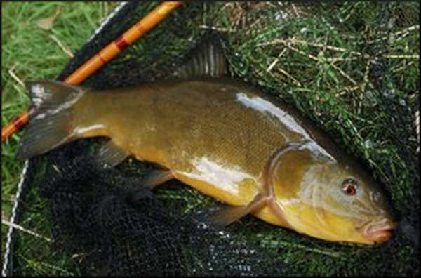 Как выглядит рыба линь