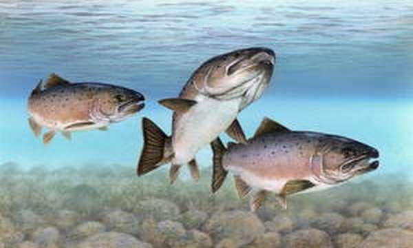 Рыба семейства сигов