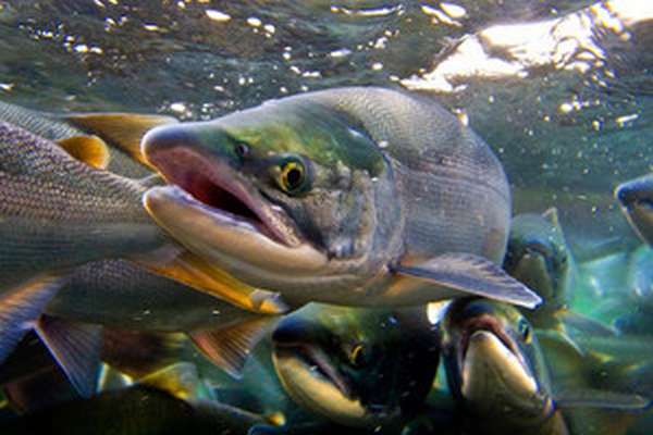 Внешние признаки распространенных видов лосося