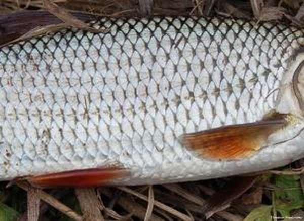 Способы определения возраста рыбе
