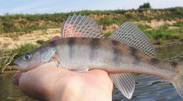 Бёрш рыба