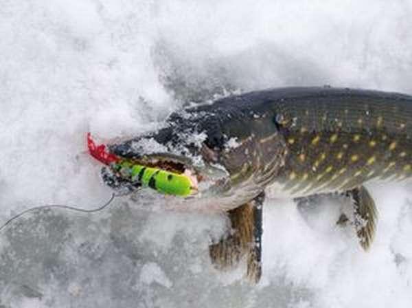 Особенности ловли рыбы щуки