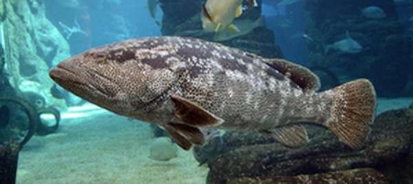 Групер рыба