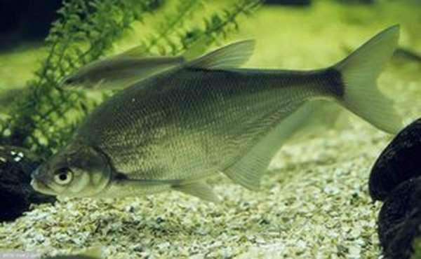Характеристика рыбы синец