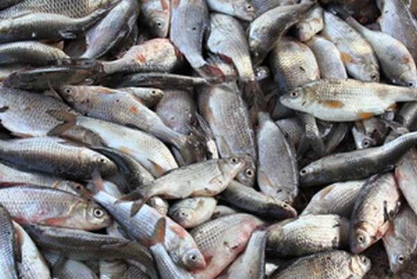 Приманки, ароматизаторы, снасти, наиболее распространенные виды рыб