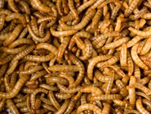 Для чего разводят мучных червей