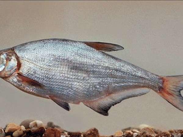 Описание рыбы синец