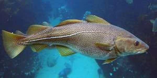 Польза рыбы треска