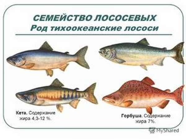Характеристика лососевых