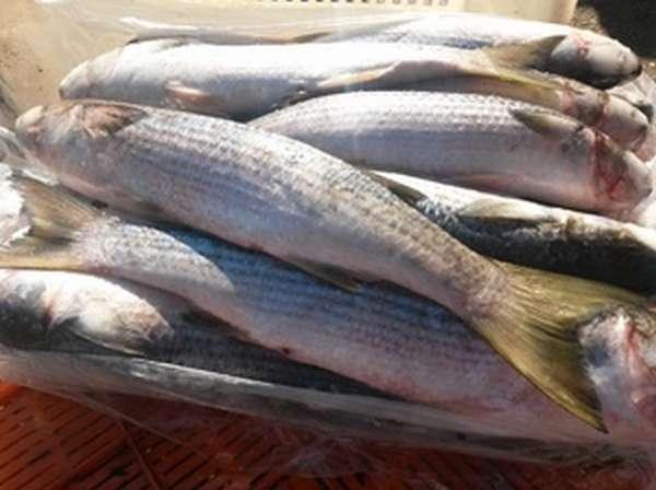 Польза рыбы лобань