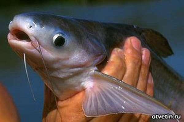как живёт рыба тилапия