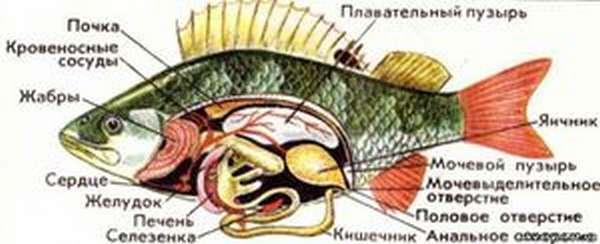 Внутреннее строение тела