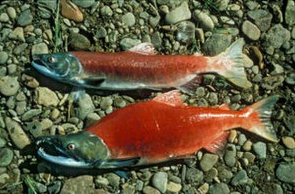 Как выглядит рыба нерка