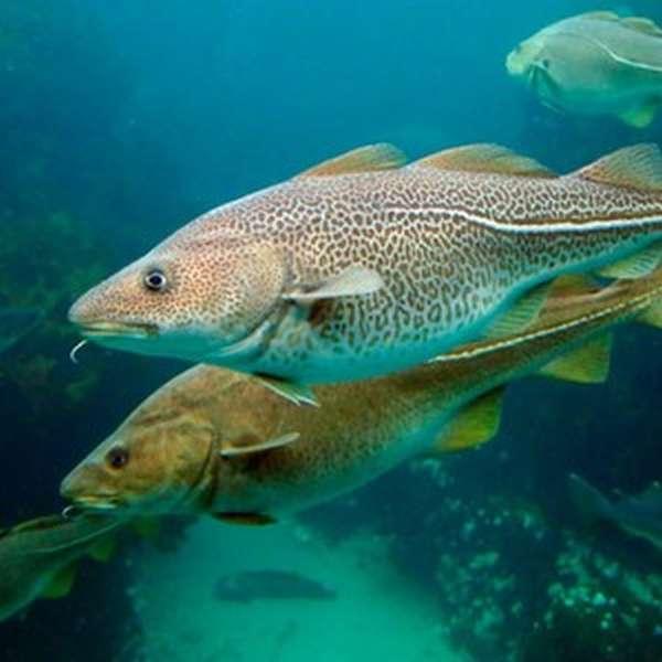 Места обитания тресковых рыб