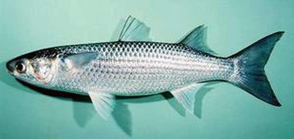 Особенности рыбалки на лобань