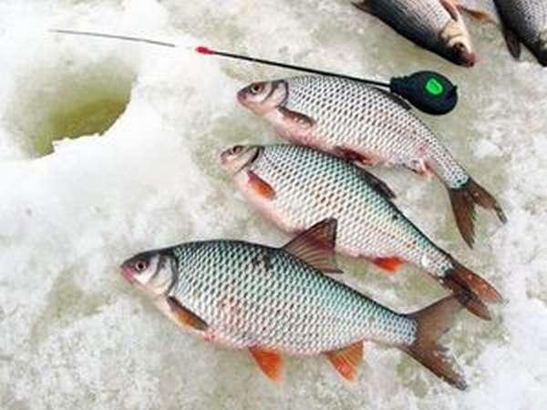 Рыбалка для начинающего любителя, ловля плотвы