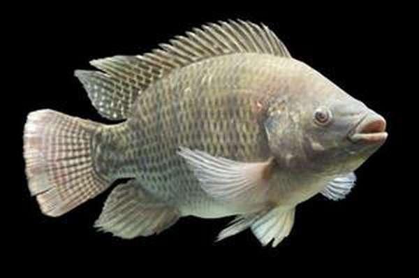 Где водится рыба тилапия