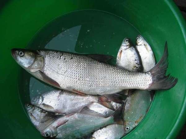Как рыбачить на рыбу вырезуб