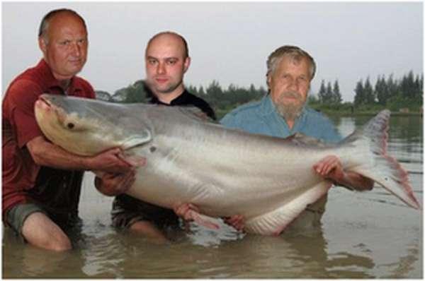 Характеристика рыбы тилапия