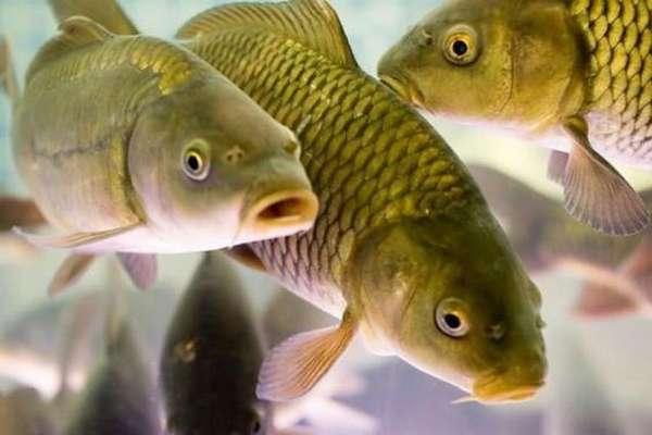 Сведения и способе питания рыб
