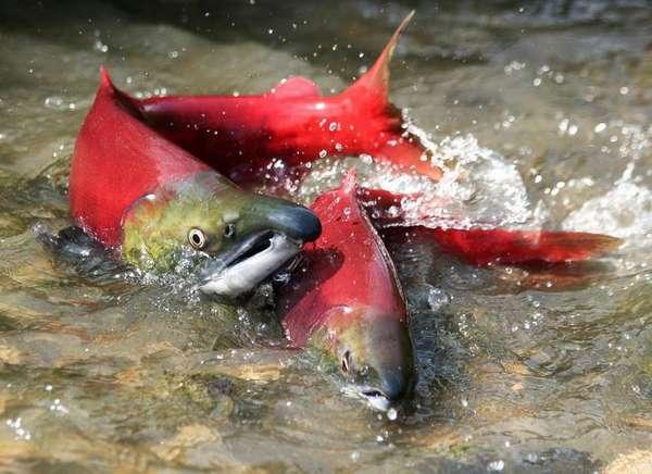 Польза рыбы нерки