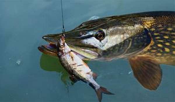 Эффективность рыбалки с применением живца