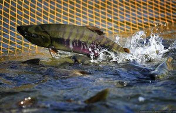 Дальневосточный лосось: разновидности, места обитания рыбы в России