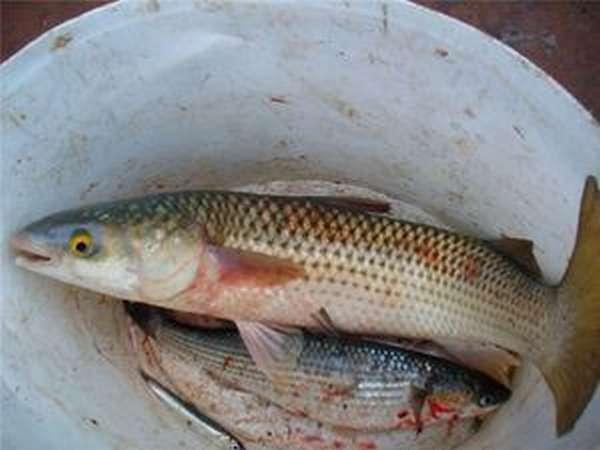 Как приготовить рыбу кефаль.
