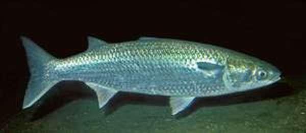 Как выглядит рыба лобань